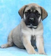 Home Raised Mastiff Puppies for Sale