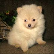Kc Pomeranian puppy for sale