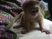 BABY MONKEY FOR GOOD HOMES
