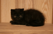 Pedigree Black Exotic Kitten For Sale