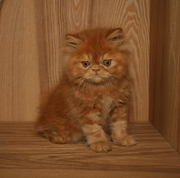Pedigree Red Persian Kitten For Sale